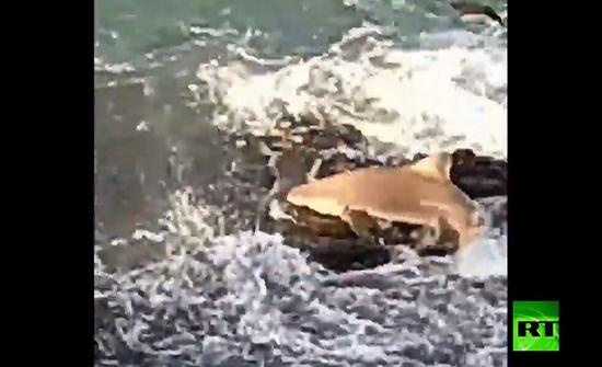 بالفيديو : سمكة قرش تقفز إلى صخرة على الساحل لاصطياد السمك