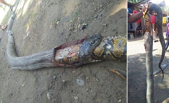 فيديو مرعب : حية كوبرا سامة تبتلع ثعبانًا ضخمًا في الفلبين