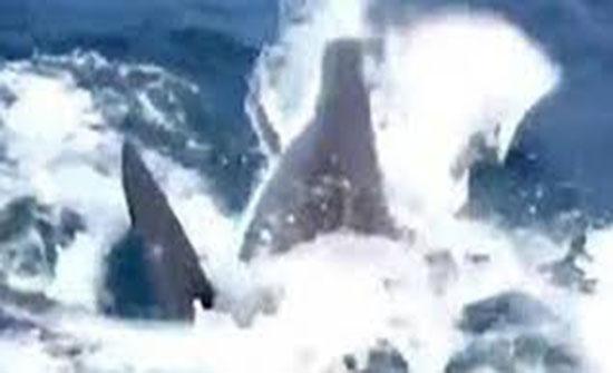 معركة شرسة بين أسماك القرش البيضاء (فيديو)