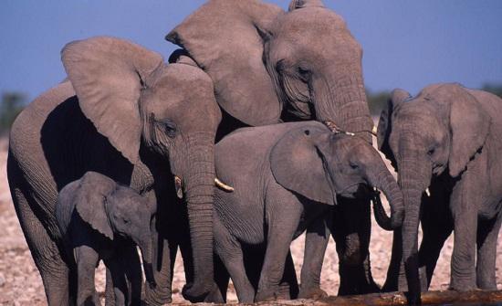 الصين : تسيير 14 طائرة بدون طيار لملاحقة قطيع من الفيلة البرية