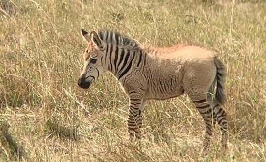 """فيديو : ظهور حمار وحشي """"أشقر"""" ذهبي في محمية طبيعية بكينيا"""