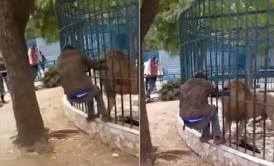 بالفيديو ..السنغال :  أسد ينقض على رجل حاول التباهي بمداعبته