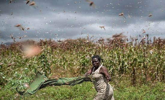 مشاهد مروعة لنساء وأطفال يحاربون الجراد في أكبر هجمة له منذ 70 عامًا في كينيا (صور)