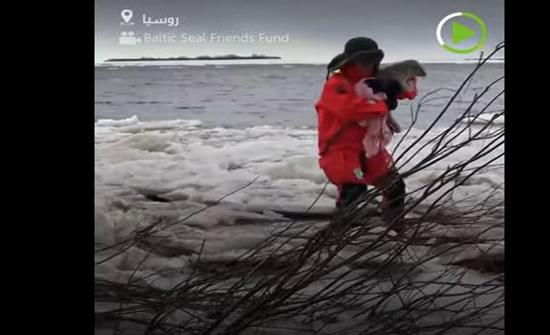 فيديو: إنقاذ شبل فقمة بحر البلطيق في سان بطرسبورغ