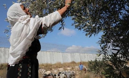 73 اعتداء للمستوطنين بالضفة الغربية خلال موسم قطف الزيتون