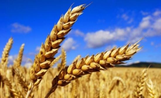 المواصفات:مختبرات العقبة تفحص شوائب القمح القادمة الى الأردن