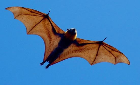 """ناقل """" كورونا """" في الصين كان على علاقة جسدية بخفافيش!"""