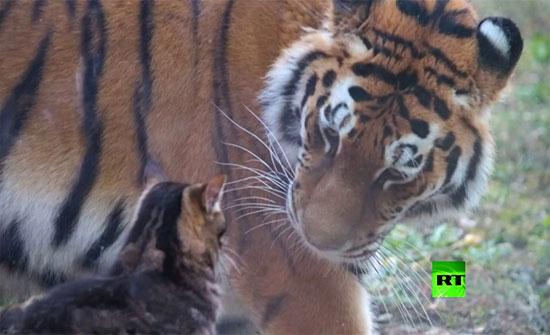 شاهد : نمرة وقطة.. لا شيء يقف بوجه الصداقة في مدينة رستوف