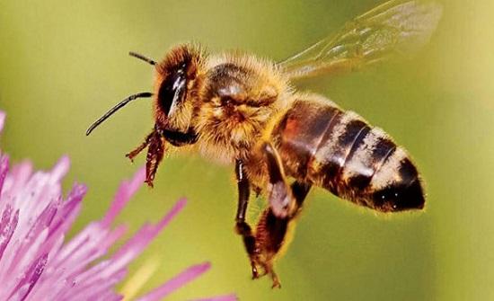 احذر.. لسعة النحلة قد تكون قاتلة في هذه الحالة