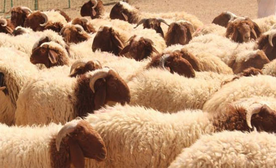 المفرق: تصدير 250 الف رأس غنم للأسواق الخليجية منذ بداية العام