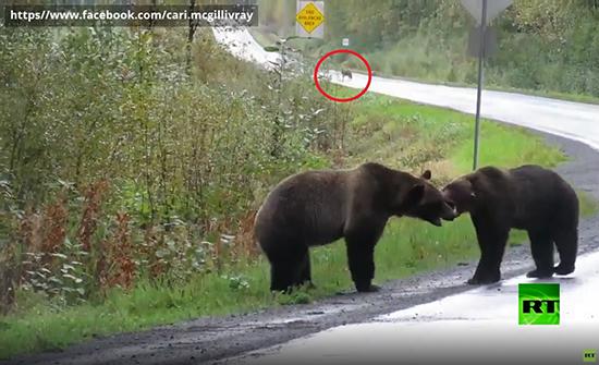 شاهد : عراك بين دبين وصغير ذئب يراقب النزال في كندا