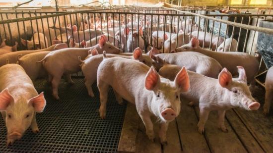 """صدمة أخرى من الصين.. """"تفشٍ جديد لحمى الخنازير"""""""