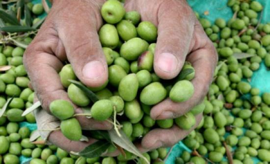 الاحتفال باليوم العالمي لقطف ثمار الزيتون بمدرسة الظليل بالزرقاء