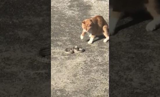 بالفيديو: قط يقبض على ثعبان حاول الهرب من حديقة حيوانات في روسيا