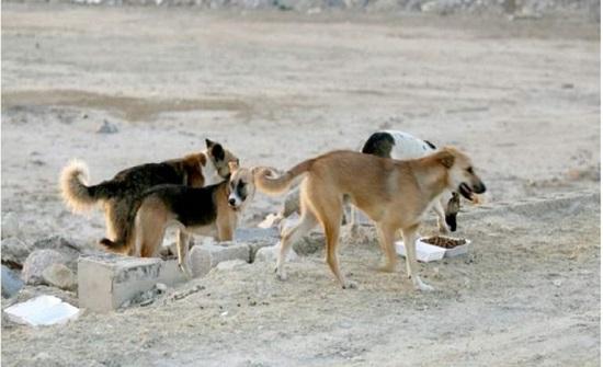 """جرش : مواطنون في """" عين النبي """" يشكون من الكلاب الضالة"""