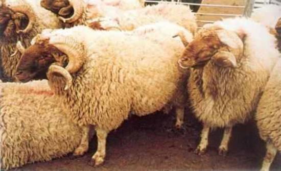 حملة لتحصين الماشية ضد الحمى القلاعية في المفرق