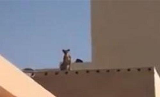 أسد يعتلي سطح مبنى قرب مدرسة يثير الذعر (فيديو)