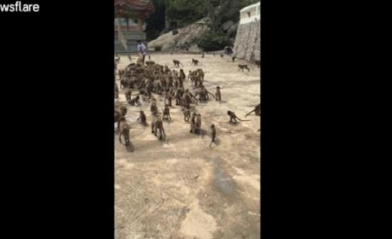 امرأة تطعم مئات القرود في تايلاند (فيديو)