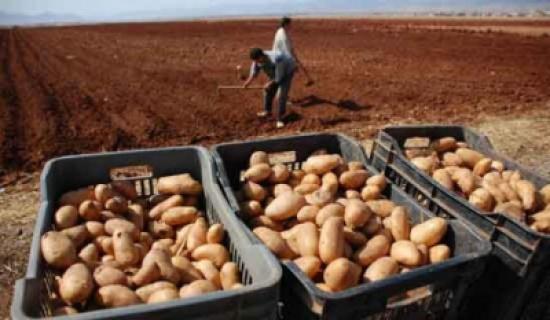 بدء انتاج البطاطا من الغور الشمالي