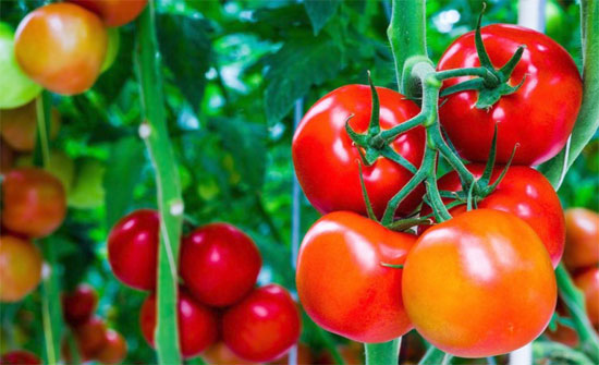 الزراعة تؤكد سلامة البندورة في السوق المحلي