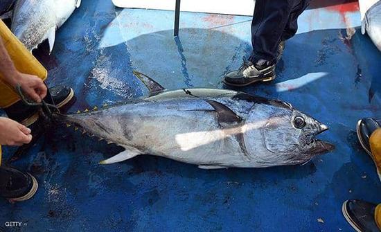 اصطادوا سمكة قيمتها 3 ملايين دولار ثم القوها في البحر لانها نادرة