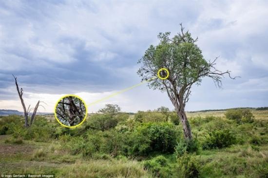 مشهد مذهل لبومة تخدع أعداءها بالاختباء في شجرة (صور)