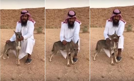 بالفيديو: سعودي  ينقذ ذئب بري بعد تعرضه لإصابة خطيرة