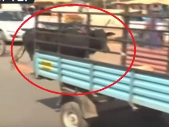 فيديو مؤثر.. البقرة الأم تلاحق سيارة تنقل صغيرها الجريح إلى مركز طبي!