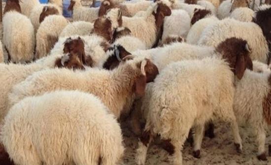 تعديل شروط تصدير الخراف