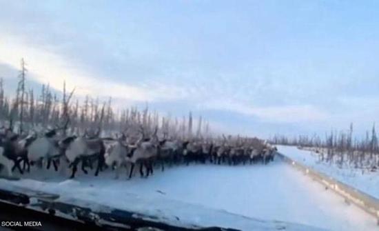 بالفيديو : لقطات فريدة ومخيفة لـ آلاف الحيوانات تقطع الطريق في سيبيريا