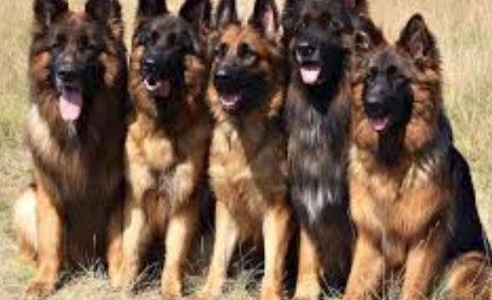 اصطحاب الكلاب في الشوارع تستفز الاردنيين