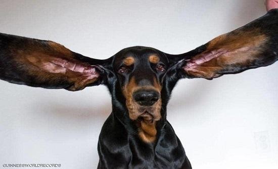 بالصورة : كلب يدخل موسوعة غينيس بفضل طول أذنيه
