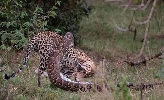 بالفيديو : نهاية لمعركة دامية بين نمر شرس وثعبان ضخم في محمية ماساي مارا الكينية