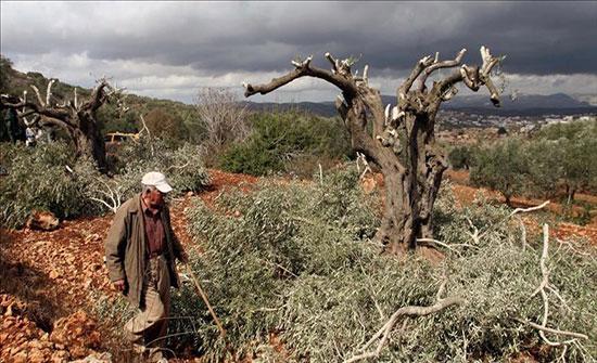 الاحتلال ومستوطنوه يقطعون مئات أشجار الزيتون في نابلس وسلفيت