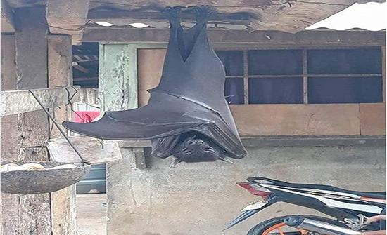 لن تتخيل طول الأجنحة.. صورة مذهلة لأطول خفاش في العالم