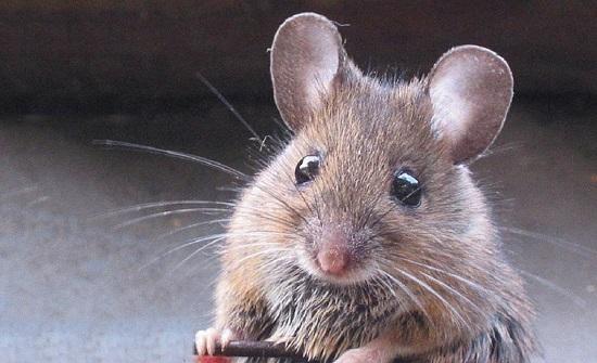 وباء جديد في الصين.. فيروس قادم من الفئران يصيب الكبد