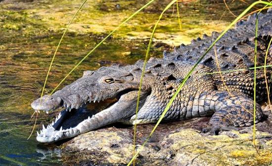بالفيديو: تمساح نهر يسبح ببقرة كاملة في فمه