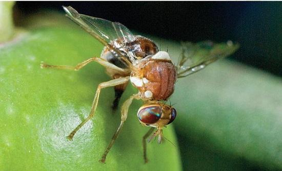زراعة اربد تدعو لمراقبة ذبابة الزيتون