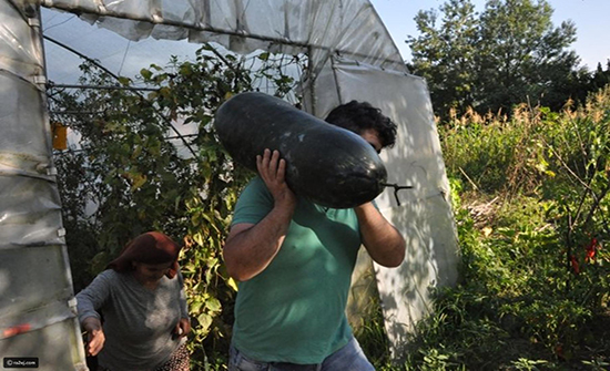 صور:  ثمرة خيار وزنها 21 كيلو غرام عثر عليها في جنوب تركيا