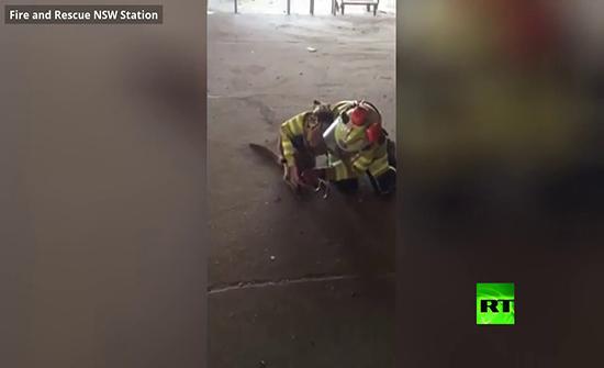 بالفيديو : إنقاذ كنغر كاد أن يموت حرقا في أستراليا