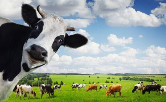 حماية المستهلك تطالب بتوفير الأعلاف بكميات كافية لمربي الأبقار