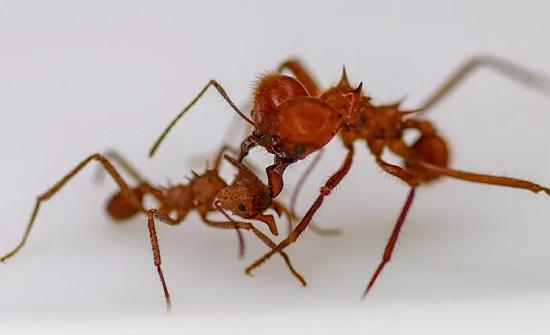 علماء يكتشفون سر قوة فكي النمل