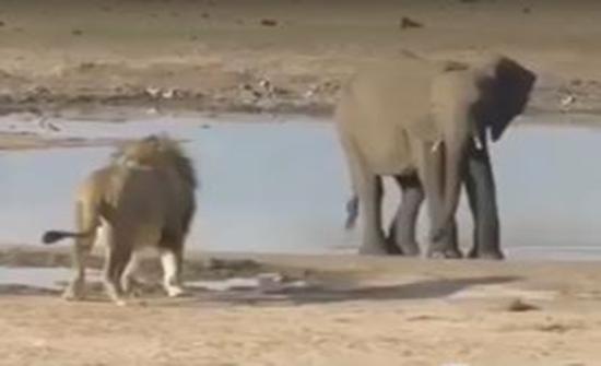 أسد يحاول افتراس فيل والنهاية !