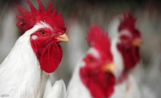 مصدر : الانتاج اليومي من بيض المائدة تصل الى 4 ملايين بيضة