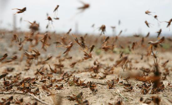 الزراعة : وصول اعداد محدودة من الجراد الصحراوي للمدورة