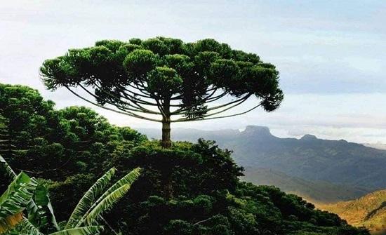 بالصور : اشجار فريدة من نوعها