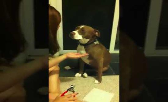 """فيديو : مقطع طريف جدا لكلب فضل """"إغماء"""" نفسه قبل أن تقلّم أظافره"""