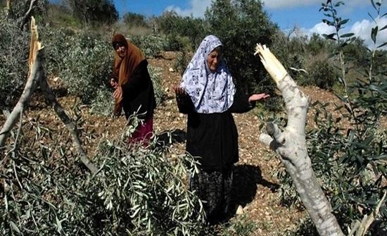 مستوطنون متطرفون يهود يعتدون على قاطفي ثمار الزيتون شرق طولكرم