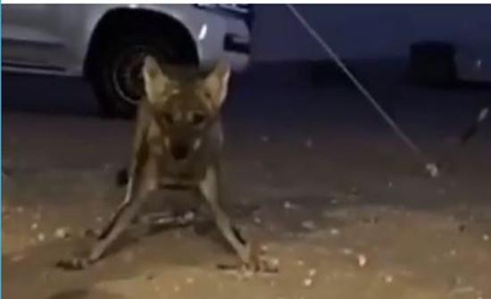 بالفيديو : حصار ذئبين لسعوديين في الصحراء من أجل تيس