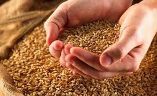 الزراعة تبدأ باستلام الحبوب يوم الأحد المقبل